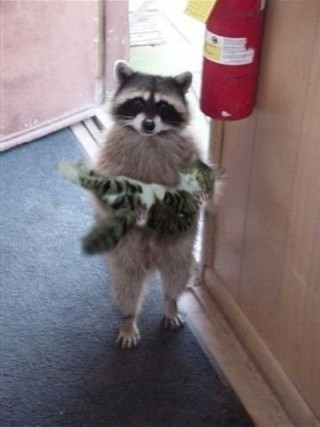Funny Raccoon holding cat picture