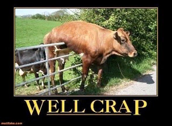 funny cow stuck over fence caption pic