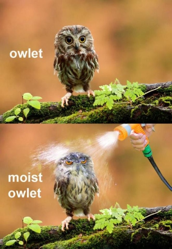 funny moist owlet caption picture