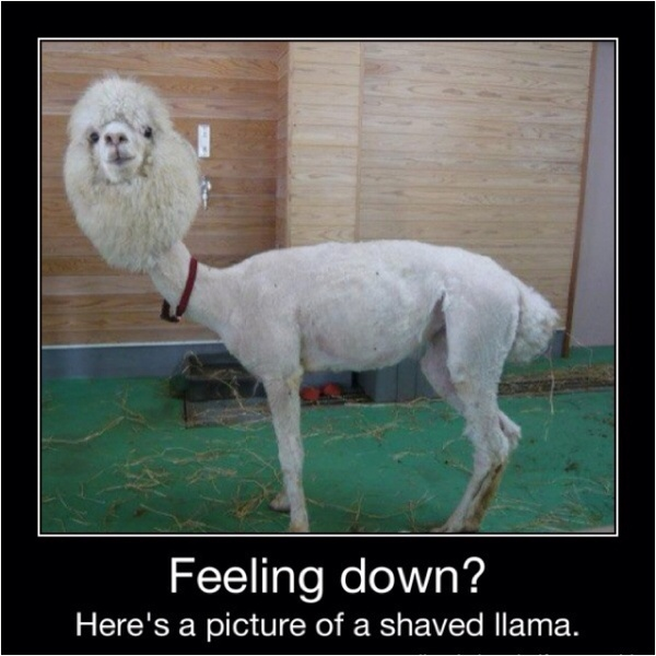 funny caption photo feeling down here is a shaved llama