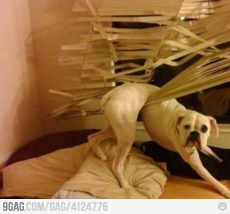 funny dog stuck in window blinds photo
