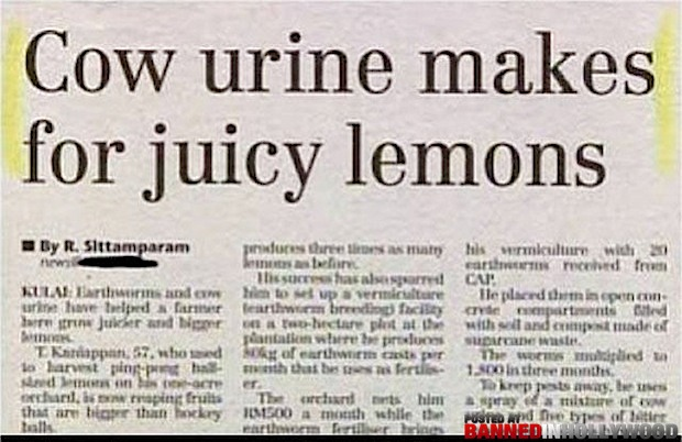 funny headlines and news stories cow urine makes juicy lemons