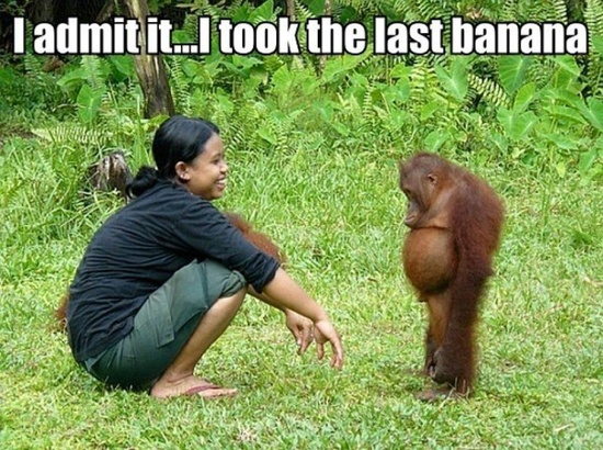 funny sad orangutan i admit it i took the last banana