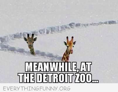 funny caption picture giraffes up to their necks in snow detroit