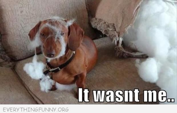 funny dog picture ripped apart pillow stuffin on dogs face it wasn't me