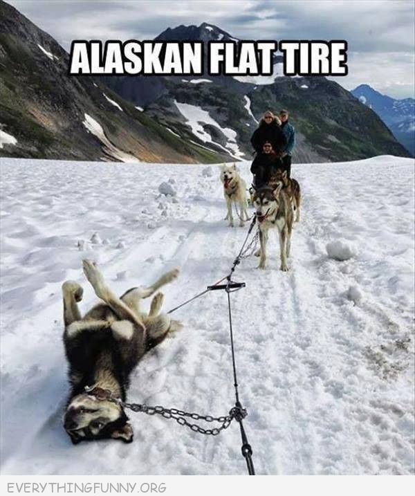 funny dog picture alaskan flat tire