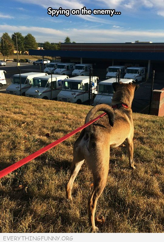 funny dog looking at mail trucks spying on the enemy