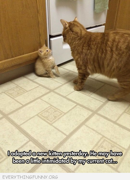 funny caption kitten a little intimidated by ourolder cat