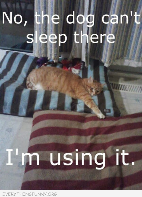funny cat picture photo gif cat touching pillow the dog can't sleep here i'm using it