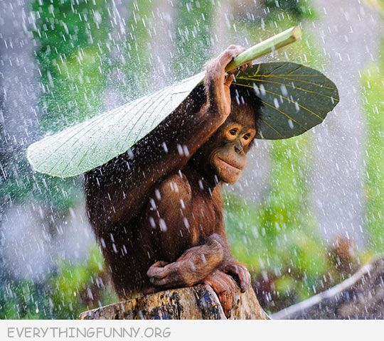 funny photos smart money covers himself with giant leaf to protect from rain