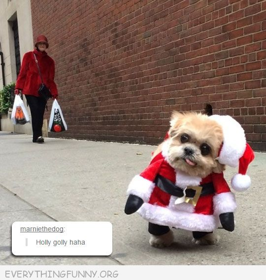 funny dog pictures little dog dressed as sants