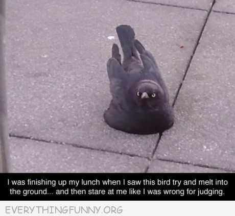 funny pigeon melting into ground