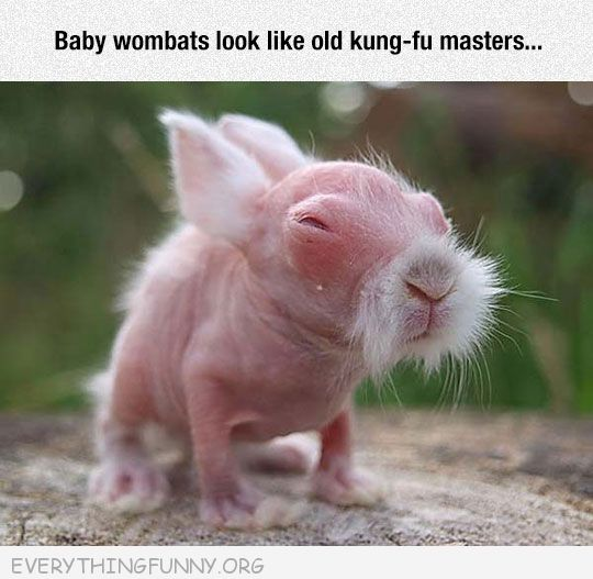 funny caption baby wombats look like old kung-fu masters