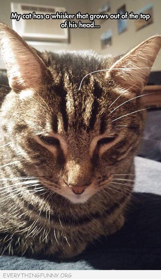 funny cat pictures my cat has a whisker right in middle of forehead