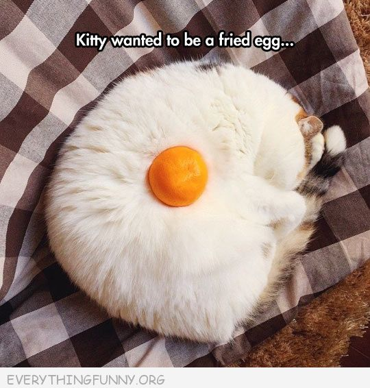 funny cat pictures this cat looks like fried egg white cat orange ball