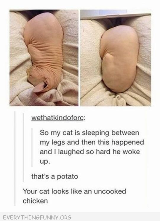 funny tumblr post hairless cat sleeping ball looks like potato or uncooked chicken