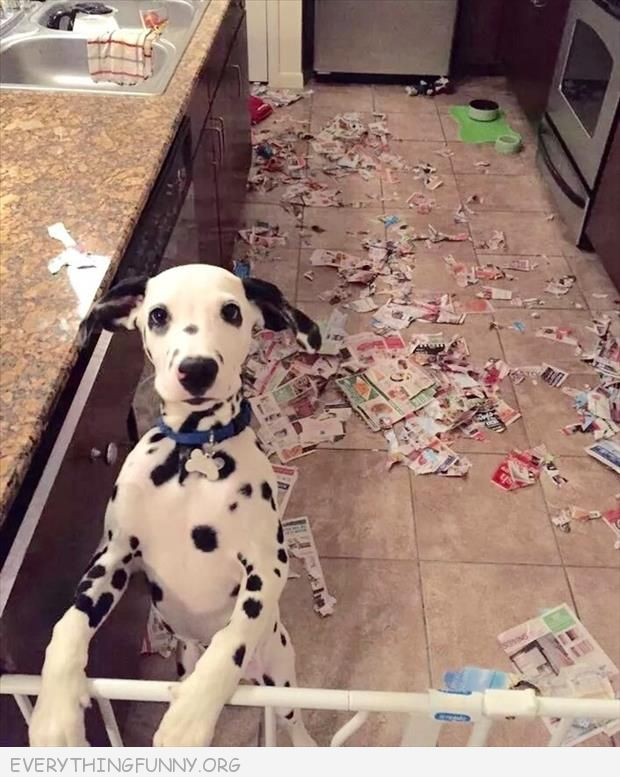 funny dog picture photo dog busted after tearing apart newspapers