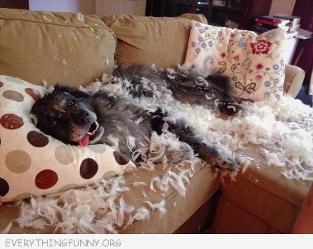funny dog pictures dog tears apart pillow has not regrets i regret nothing