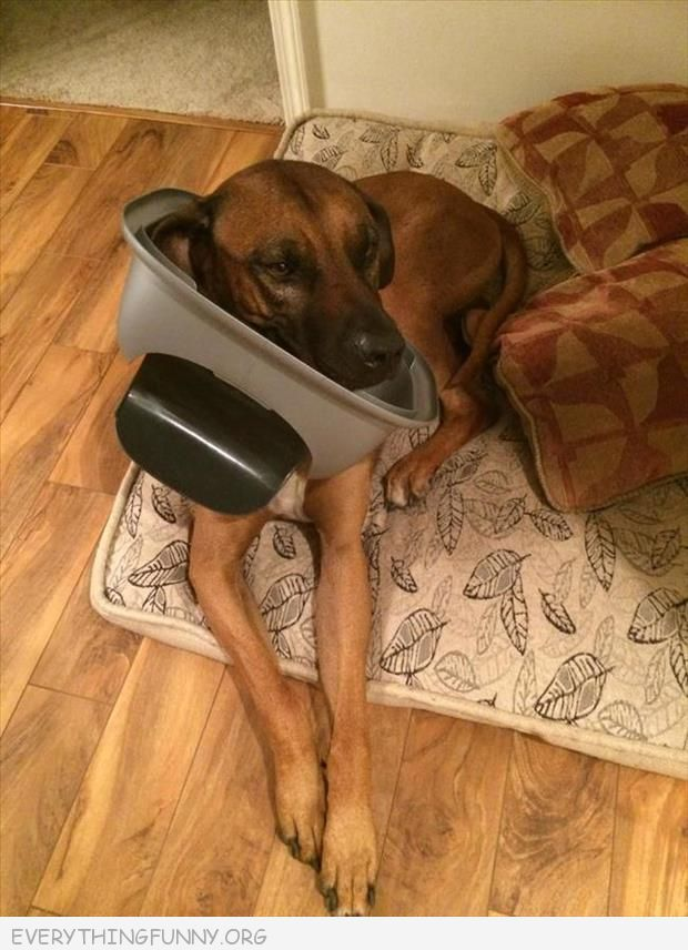funny dog picture dog with top of  garbage can stuck on head