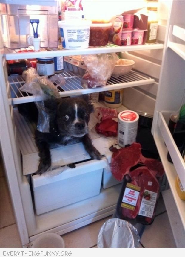 funny dog pictures dog busted caught in refrigerator