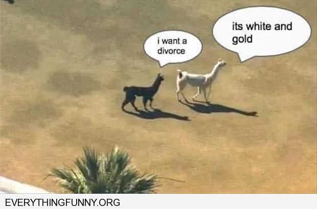 funny caption llamas i want a divorce it's white and gold dress debate