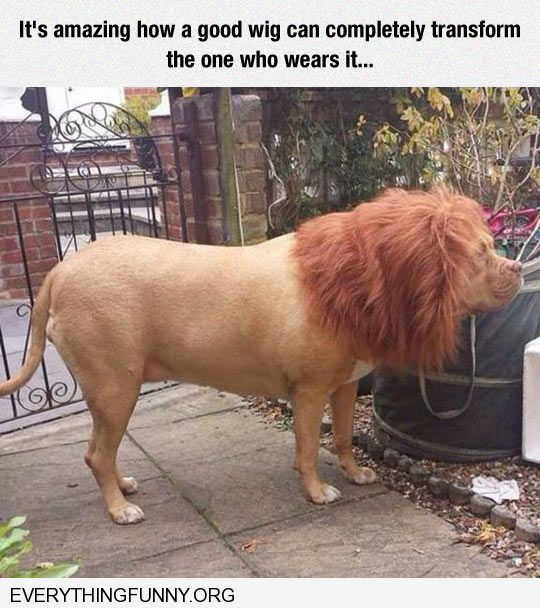 funny dog picture wig makes dog look like lion