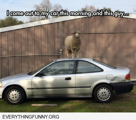 funny captions came out to find sheep standing on my car