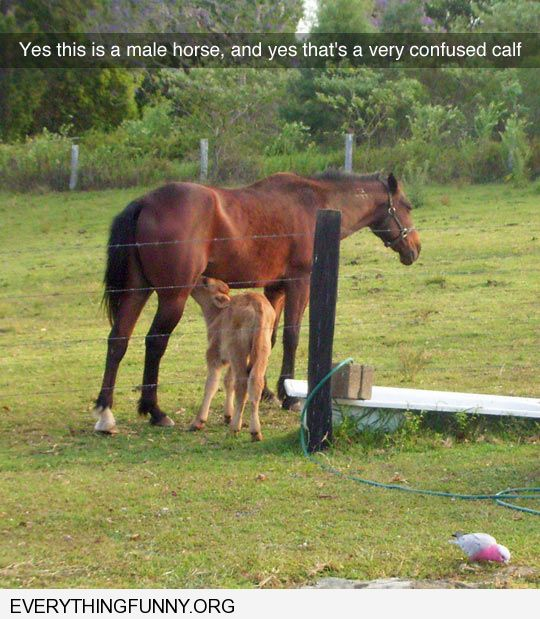 funny caption yes this is a male horse and very confused calf nursing