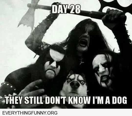 funny husky hiding in picture with heavy metal band picture day 28 they still don't know i'm a dog