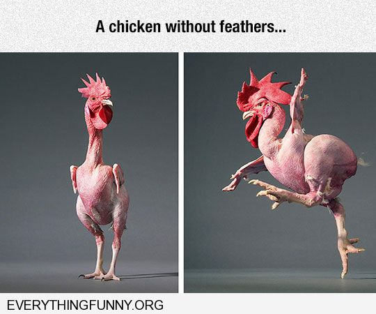 funny rooster chicken without feathers bald chicken rooster