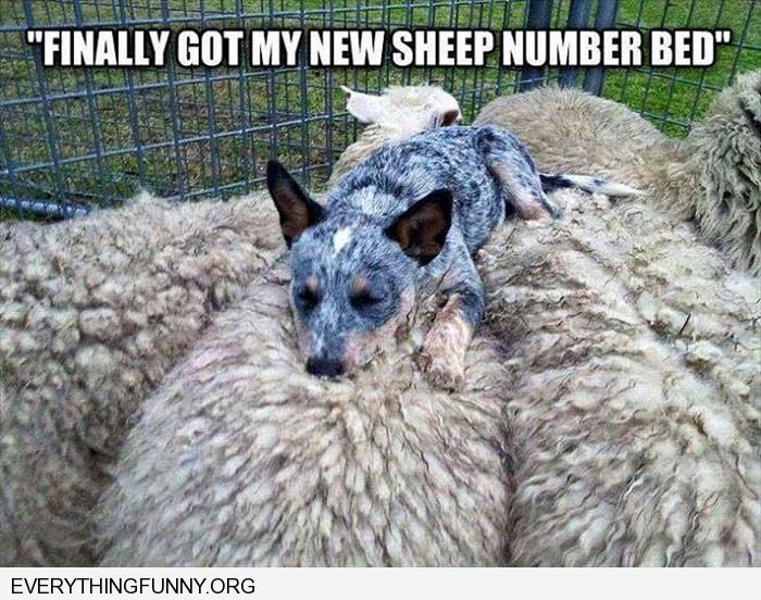 funny dog pictures i finally got my new sheep number bed dog sleeping on top of sheep