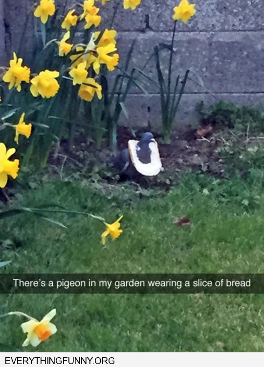 funny captin there is a pigeon in my yard with a piece of bread around his neck