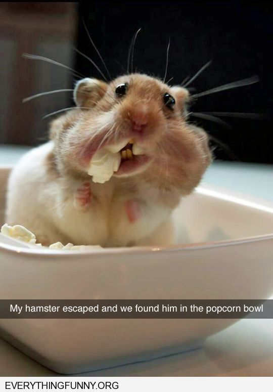 funny caption lost hamster found in the popcorn bowl