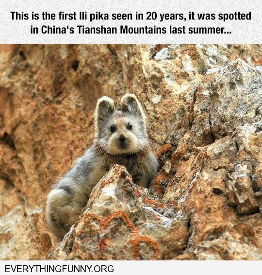 funny caption adorable lli pika just discovered in china after 20 years i have no idea what this is but i want one
