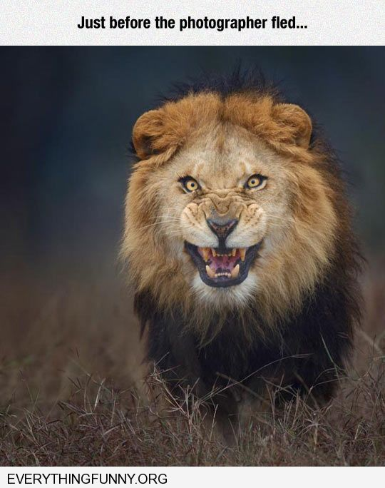 funny amazing picture of lion right before it is going to attack photographer