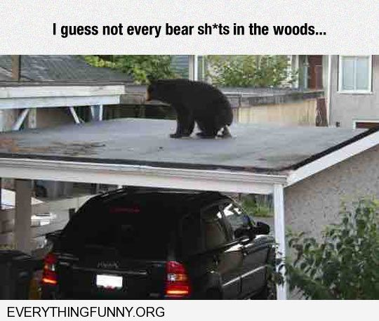 funny bear takes poop on top of carpark guess they don't all sh*t in the woods