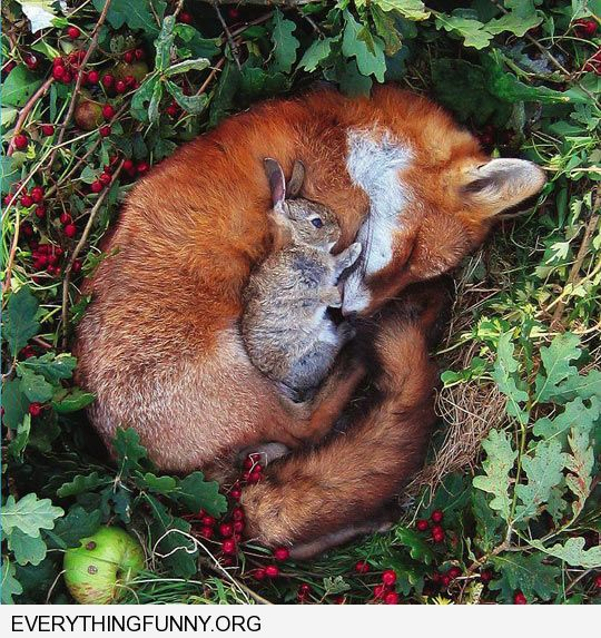 funny the most unlikeliest of friends fox rabbit sleeping together