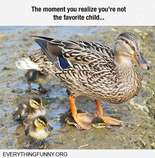 funny mother duck steps on baby the moment you realize you are not the favorite child