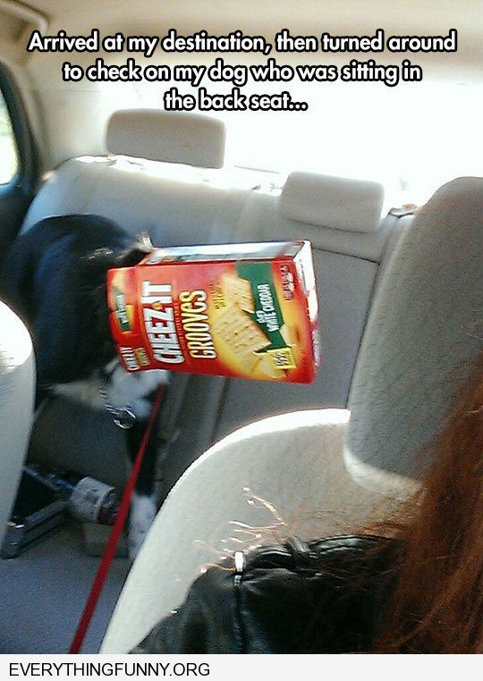 funny dog pictures look backseat dogs head stuck in cracker box