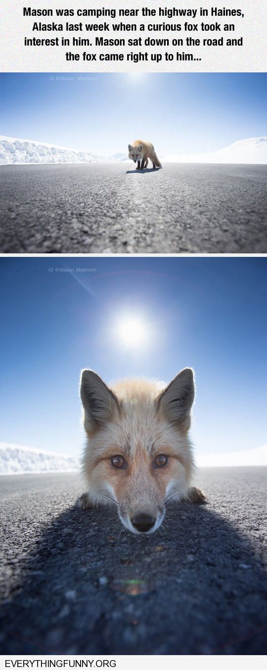 funny caption awesome fox comes all the way up to inspect camera and photographer
