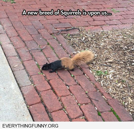 funny caption new species of squirrel half black flat brown fluffy