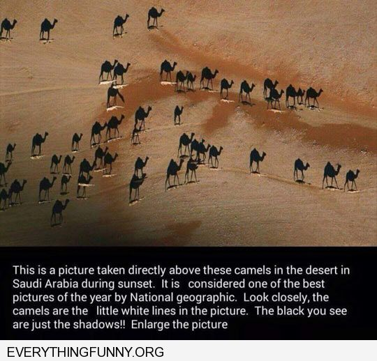funny camel shadows look like camels