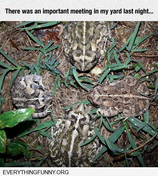 funny caption four bullfrogs in yard look like they are having a meeting