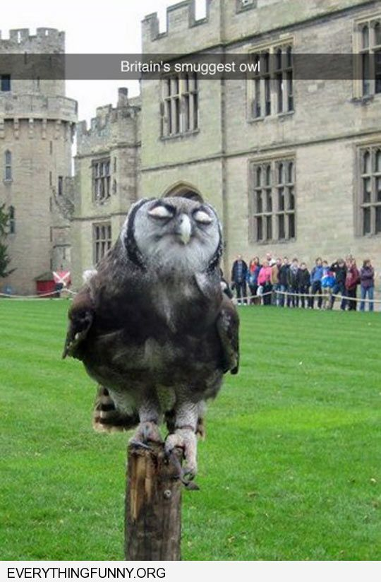 funny britains smuggest owl