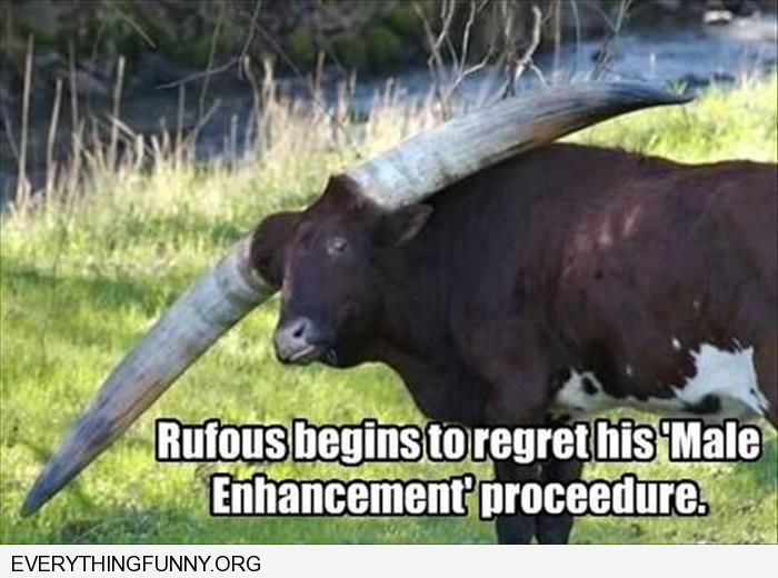 funny caption bull with huge horns rufus begins to regret his male enhancement procedure