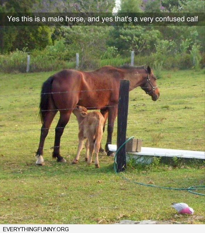 funny yes this is a mail horse and very confused calf
