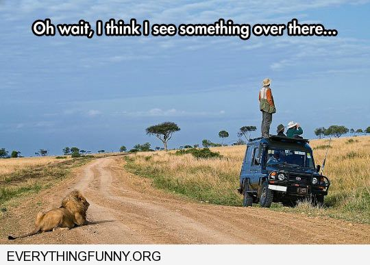funny caption man standing on truck looking for wildlife lion behind him