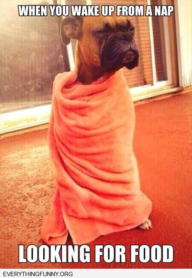 funny caption dog wrapped in blanket how you feel when you wake up for a nap and are looking for food