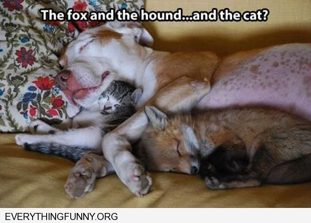 funny caption the fox the hound and the cat?