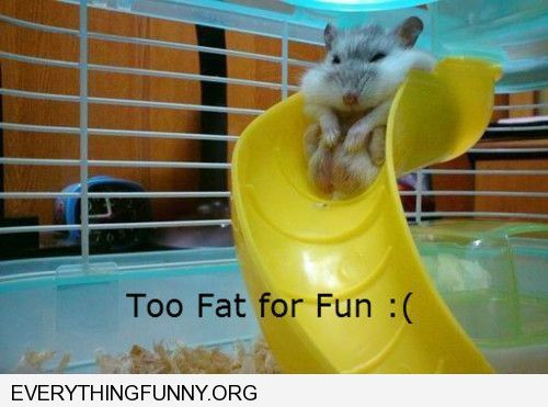 funny caption fat hamster stuck too fat for fun